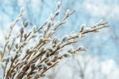 Belles branches de saule photos stock