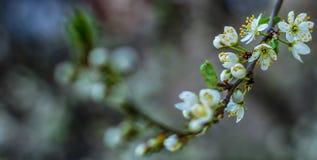 Belles branches fleurissantes des prunes de cerise dans le printemps image libre de droits