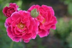Belles brillamment fleurs onduleuses roses cramoisies avec un noyau blanc et une couleur douce photos stock