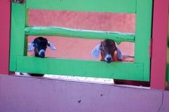 Belles chèvres Photographie stock
