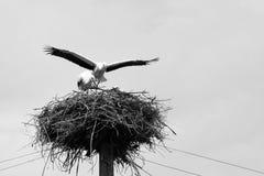 Belles cigognes sur le nid, photo noire et blanche Photo stock