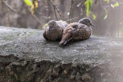 Belles colombes de tortue se trouvant sur un mur Photo libre de droits