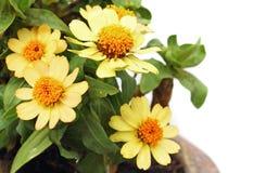 Belles, colorées fleurs de zinnia Images libres de droits