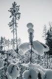 Belles congères capricieuses sur de jeunes pins Photographie stock libre de droits