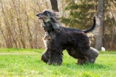 Belles courses de chien de lévrier afghan Photographie stock libre de droits