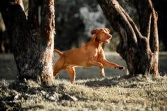 Belles courses de Rhodesian Ridgeback dans la forêt photo stock