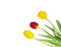 Belles et fraîches tulipes d'isolement sur le fond blanc photographie stock