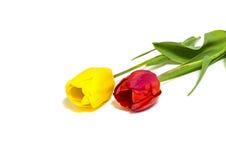 Belles et fraîches tulipes d'isolement sur le fond blanc photo libre de droits