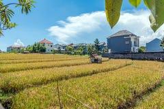 Belles fermes de riz à la communauté photo stock