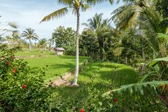 Belles fermes de riz à la communauté photographie stock libre de droits