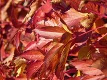 Belles feuilles colorées de chèvrefeuille Photo libre de droits