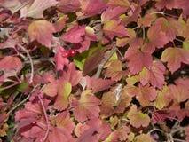 Belles feuilles colorées de chèvrefeuille Images stock