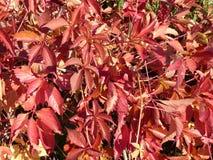 Belles feuilles colorées de chèvrefeuille Image libre de droits