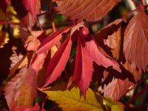Belles feuilles colorées de chèvrefeuille Photographie stock libre de droits