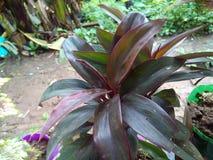 belles feuilles colorées de pourpre d'usines Images libres de droits