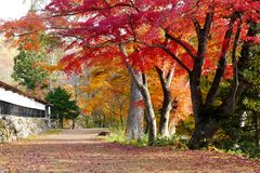 Belles feuilles d'érable dans le temple d'Enzoji photo libre de droits