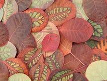 Belles feuilles d'automne colorées, Cotinus spécial de modèle images libres de droits