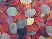 Belles feuilles d'automne colorées, Cotinus spécial de modèle image libre de droits