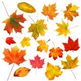 Belles feuilles d'automne colorées de collection d'isolement sur le blanc Photo libre de droits