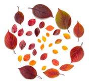 Belles feuilles d'automne colorées de collection d'isolement sur le fond blanc Photos libres de droits