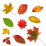Belles feuilles d'automne colorées de grande collection d'isolement sur le whi Photographie stock libre de droits