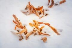 Belles feuilles d'or dans la carte postale de neige Photo stock
