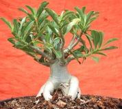 Belles feuilles d'ornamental photographie stock libre de droits