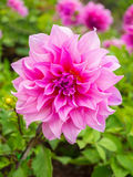 Belles feuilles de fleur et de vert de dahlia Image stock