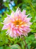 Belles feuilles de fleur et de vert de dahlia Images libres de droits
