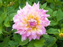 Belles feuilles de fleur et de vert de dahlia Photographie stock libre de droits