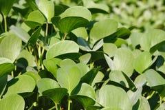 Belles feuilles de forme de coeur de woodrose hawaïen de bébé Photos stock