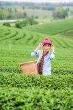 Belles feuilles de thé de cueillette de femme de l'Asie dans une plantation de thé Photos libres de droits
