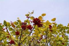 Belles feuilles rouges de viburnum et de jaune de baies pendant l'automne Photos stock