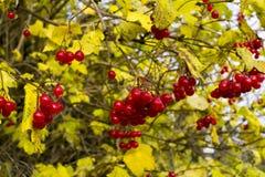 Belles feuilles rouges de viburnum et de jaune de baies pendant l'automne Images stock