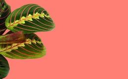 Belles feuilles tropicales de Calathea sur un fond en couleurs de l'année 2019 - corail vivant Image, l'espace minimal de copie d image libre de droits