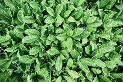 Belles feuilles vertes de buisson photographie stock