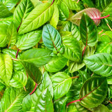 belles feuilles vertes de fuchsia comme fond, Photos libres de droits