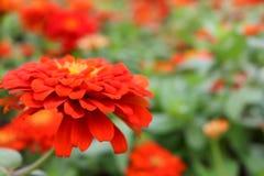 Belles fleurs élégantes de zinnia rouge ou orange sur des feuilles de vert et des fleurs merveilleuses de tache floue Photo stock