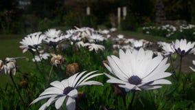 Belles fleurs au centre blanc et bleu de nature image libre de droits