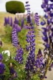 Belles fleurs au Chili du sud Photo libre de droits