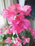 Belles fleurs avec les feuilles roses image libre de droits