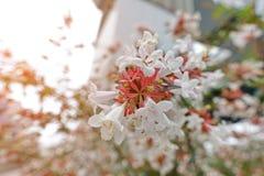 Belles fleurs avec les rayures rouges oranges sur le waysi de fleurs blanches Image stock