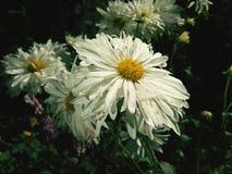 Belles fleurs blanches Images libres de droits