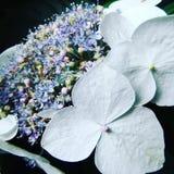 Belles fleurs blanches avec des couleurs en pastel Image libre de droits