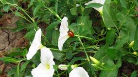 Belles fleurs blanches avec la petite marche de coccinelle image stock