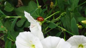 Belles fleurs blanches avec la petite marche de coccinelle photographie stock libre de droits