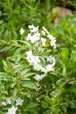 Belles fleurs blanches avec les stamens jaunes contre les feuilles vertes image stock