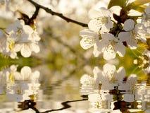 Belles fleurs blanches d'arbre de source Photos libres de droits