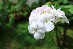 Belles fleurs blanches de géranium à la lumière du soleil avec le feuillage vert trouble à l'arrière-plan photographie stock libre de droits