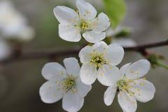 Belles fleurs blanches image stock